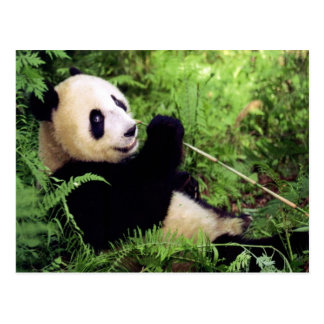 Oso de panda gigante tarjetas postales
