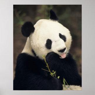 Oso de panda, (primer) poster