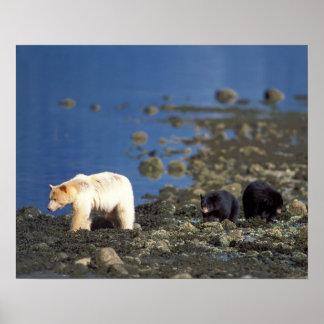 oso del alcohol, kermode, oso negro, Ursus Póster