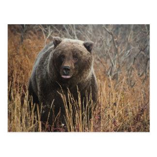 Oso grizzly con los labios del arándano postal