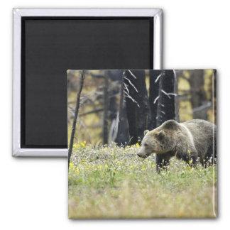Oso grizzly en campo en el parque nacional de imán cuadrado