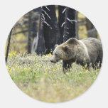 Oso grizzly en campo en el parque nacional de pegatina redonda