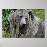 Oso grizzly en el parque nacional de Yellowstone Impresiones
