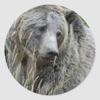 Oso grizzly en el parque nacional de Yellowstone Etiqueta Redonda