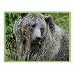 Oso grizzly en el parque nacional de Yellowstone Tarjetas Postales