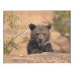 Oso grizzly (horribilis de los arctos del Ursus)