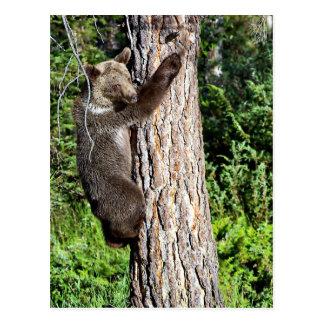 Oso grizzly joven en un árbol postales