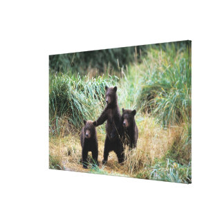 Oso grizzly oso marrón cachorros en hierbas alta impresiones en lienzo estiradas