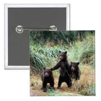 Oso grizzly, oso marrón, cachorros en hierbas alta pin cuadrada 5 cm