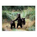 Oso grizzly, oso marrón, cachorros en hierbas alta tarjeta postal