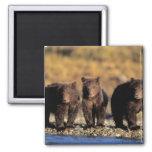 Oso grizzly, oso marrón, cachorros, nacional de Ka Iman