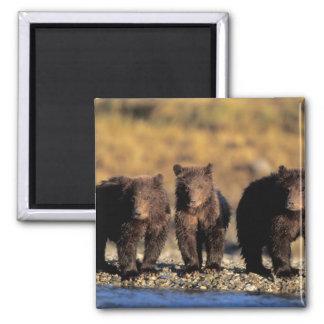 Oso grizzly, oso marrón, cachorros, nacional de Ka Imán Cuadrado