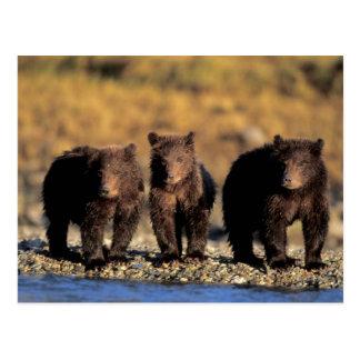 Oso grizzly, oso marrón, cachorros, nacional de tarjeta postal