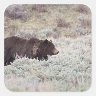 Oso grizzly calcomanía cuadradas