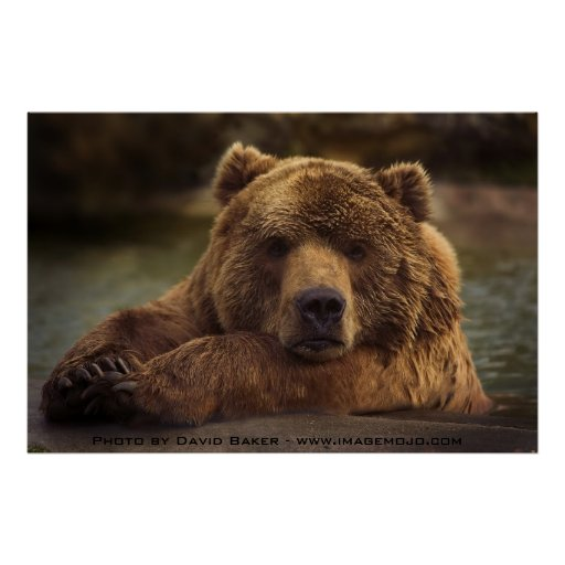 Oso grizzly póster