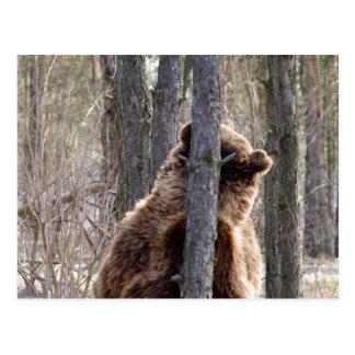 Oso grizzly que rasguña un picor tarjetas postales