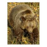 Oso grizzly tarjeta postal