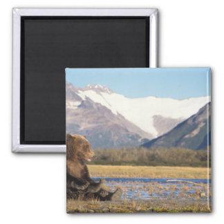 oso marrón, arctos del Ursus, oso grizzly, Ursus 2 Imán Cuadrado