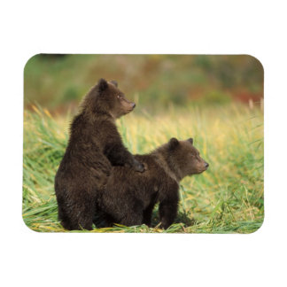 oso marrón, arctos del Ursus, oso grizzly, Ursus 2 Rectangle Magnet