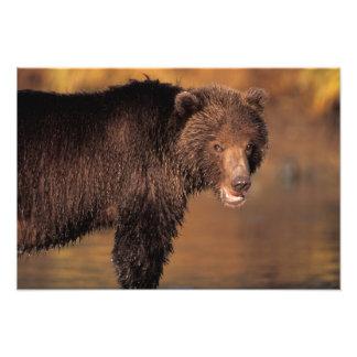 oso marrón, arctos del Ursus, oso grizzly, Ursus 2 Impresiones Fotograficas