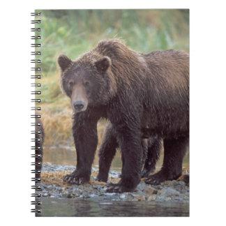oso marrón, arctos del Ursus, oso grizzly, Ursus 3 Cuadernos
