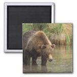 oso marrón, arctos del Ursus, oso grizzly, Ursus 3 Iman Para Frigorífico