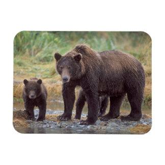 oso marrón, arctos del Ursus, oso grizzly, Ursus 3 Imán Foto Rectangular