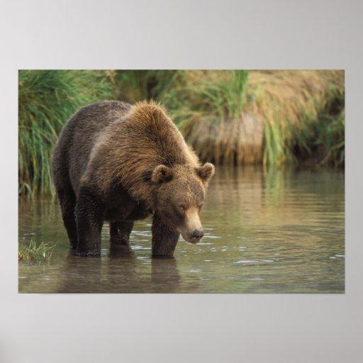 oso marrón, arctos del Ursus, oso grizzly, Ursus 3 Posters