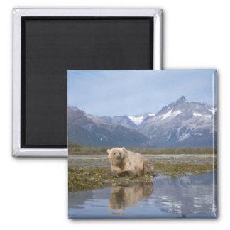 oso marrón, arctos del Ursus, oso grizzly, Ursus 4 Imán Cuadrado