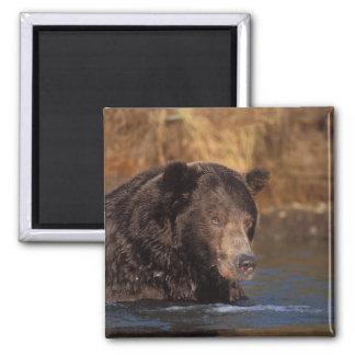 oso marrón, arctos del Ursus, oso grizzly, Ursus 5 Imán Cuadrado