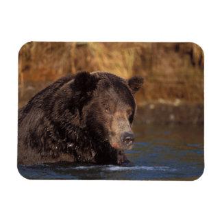 oso marrón, arctos del Ursus, oso grizzly, Ursus 5 Iman De Vinilo