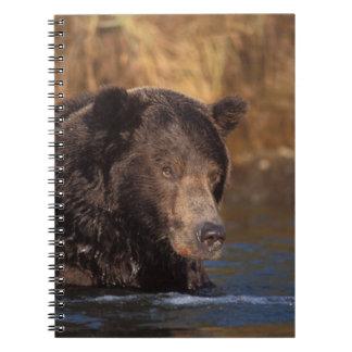 oso marrón, arctos del Ursus, oso grizzly, Ursus 5 Note Book