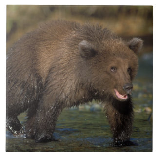 oso marrón, arctos del Ursus, oso grizzly, Ursus 6 Azulejo Cuadrado Grande