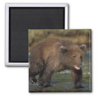 oso marrón, arctos del Ursus, oso grizzly, Ursus 6 Imán Cuadrado