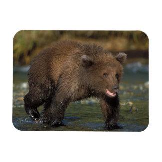 oso marrón, arctos del Ursus, oso grizzly, Ursus 6 Iman