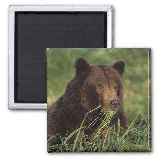 oso marrón, arctos del Ursus, oso grizzly, Ursus 7 Imán Cuadrado