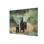 oso marrón, arctos del Ursus, oso grizzly, Ursus 7 Lona Estirada Galerias