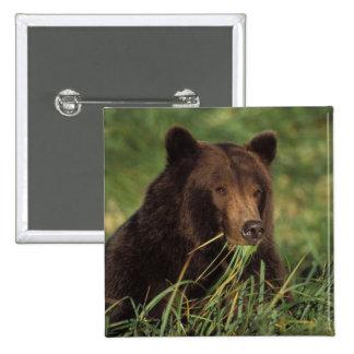 oso marrón, arctos del Ursus, oso grizzly, Ursus 7 Pin Cuadrada 5 Cm