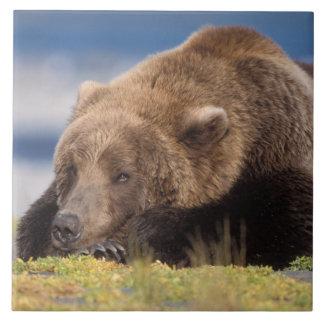 oso marrón, arctos del Ursus, oso grizzly, Ursus 8 Azulejo Cuadrado Grande