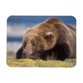 oso marrón, arctos del Ursus, oso grizzly, Ursus 8 Imanes De Vinilo