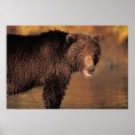 oso marrón, arctos del Ursus, oso grizzly, Ursus 8 Posters