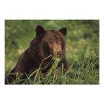 oso marrón, arctos del Ursus, oso grizzly, Ursus 8 Arte Fotográfico