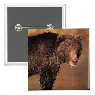 oso marrón, arctos del Ursus, oso grizzly, Ursus 8 Pin Cuadrada 5 Cm