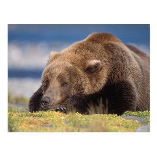 oso marrón, arctos del Ursus, oso grizzly, Ursus 8 Postal