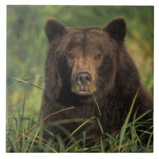 oso marrón, arctos del Ursus, oso grizzly, Ursus 9 Azulejo Cuadrado Grande
