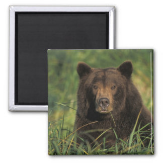 oso marrón, arctos del Ursus, oso grizzly, Ursus 9 Imán Cuadrado