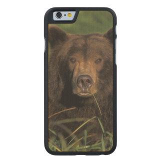 oso marrón, arctos del Ursus, oso grizzly, Ursus 9 Funda De iPhone 6 Carved® Slim De Arce