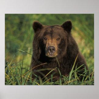oso marrón arctos del Ursus oso grizzly Ursus 9 Poster