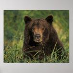 oso marrón, arctos del Ursus, oso grizzly, Ursus 9 Póster