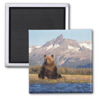 oso marrón, arctos del Ursus, oso grizzly, Ursus Iman De Nevera